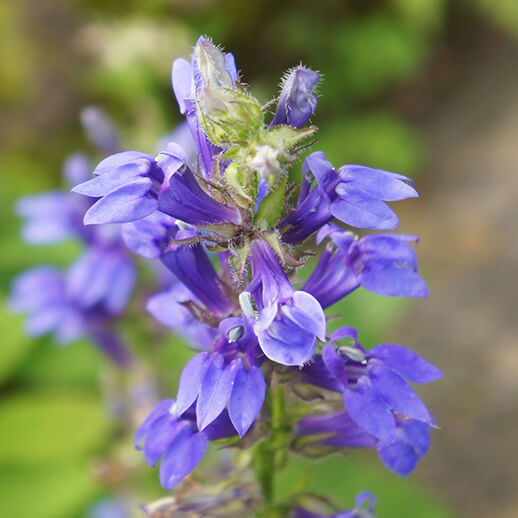 Hyssop Benefits, Uses & History: Gaia Herbs®