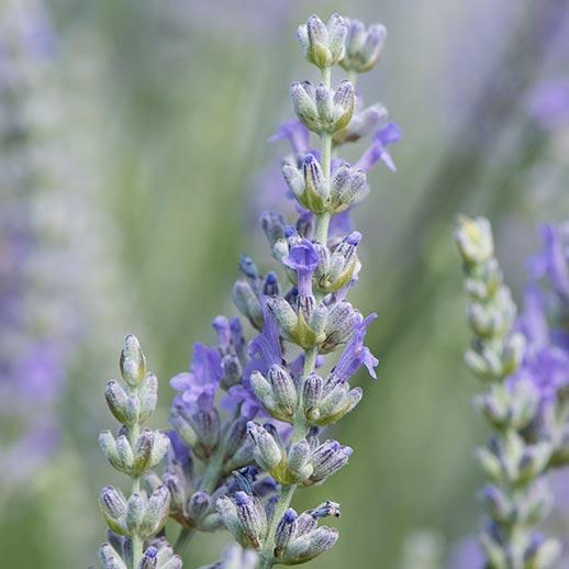 Lavender Benefits Uses History Gaia Herbs