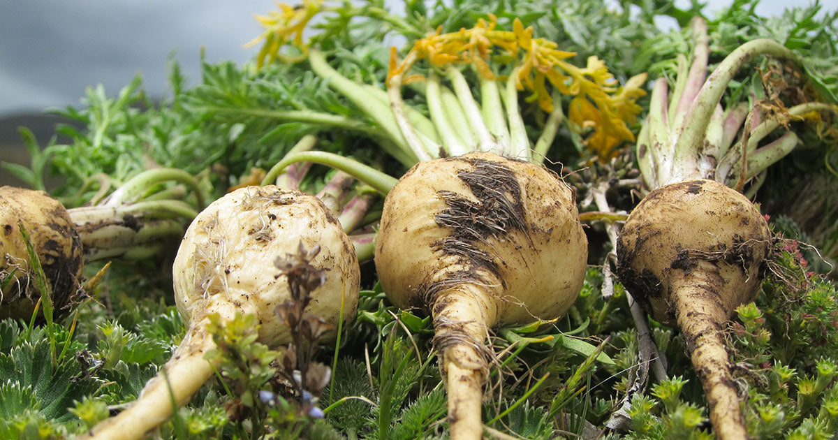Why We Love Maca: Top Benefits of this Amazing Adaptogenic Herb