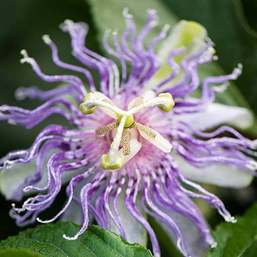 Passionflower Benefits Uses History Gaia Herbs