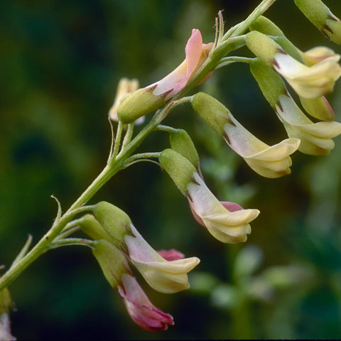 Astragalus herb in nature