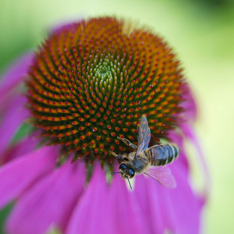 Echinacea is a naturally occurring plant in North Carolina
