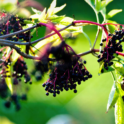 Black Elderberry on branch in nature