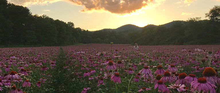 Blooming Echinacea fields at Gaia Farm