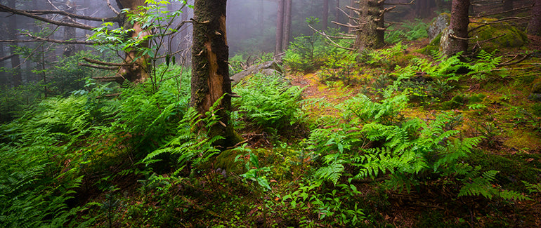 Forest floor with vibrant green ferns growing