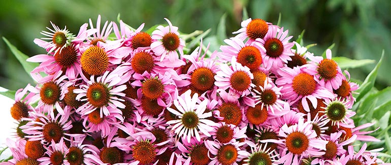 Bundle of Gaia Herbs grown Echinacea