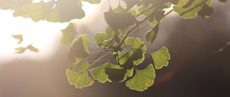 Ginkgo in the sun at Gaia Herbs Farm