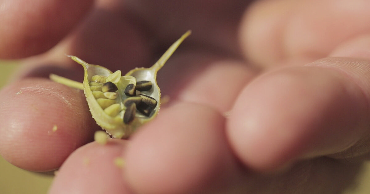 Black Seed in hand