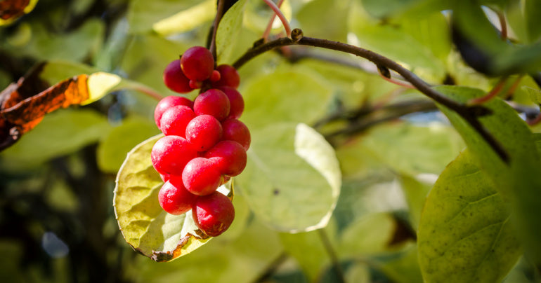 Schisandra herbs for lung health