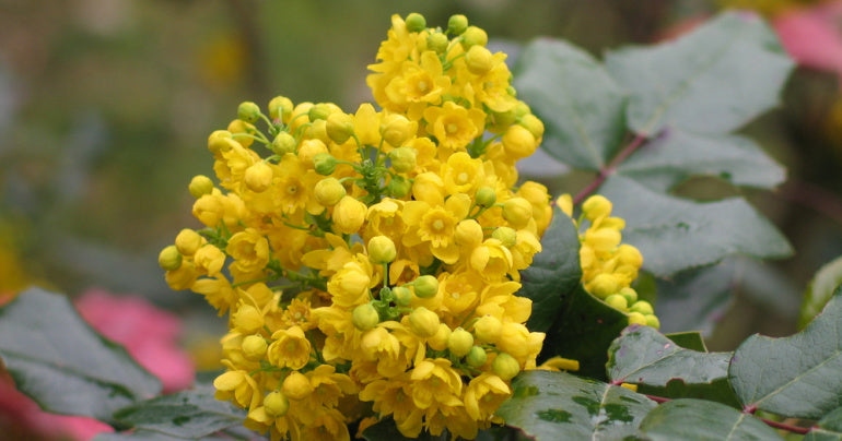 Flowers of the Oregon grape herb for lungs
