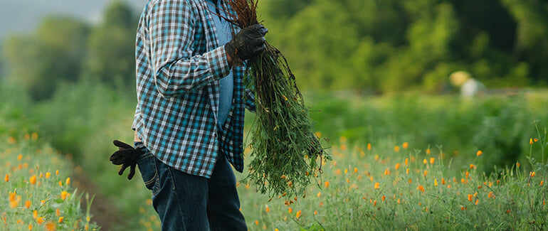 Gaia Herbs farm team member harvesting california poppy