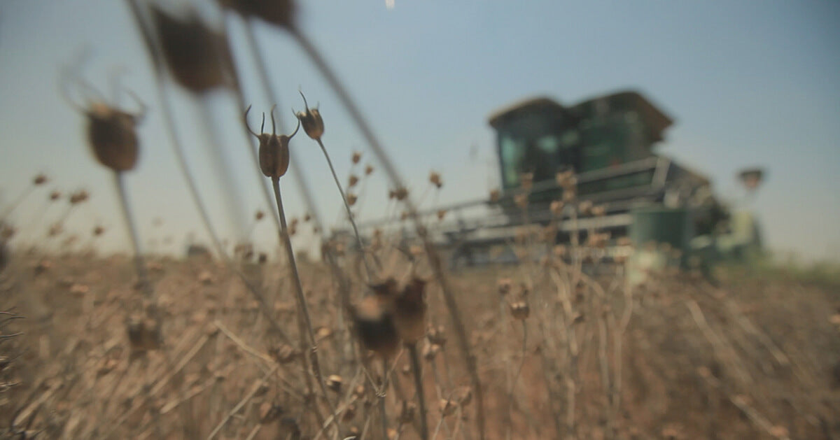 Nigella seeds with combine in background