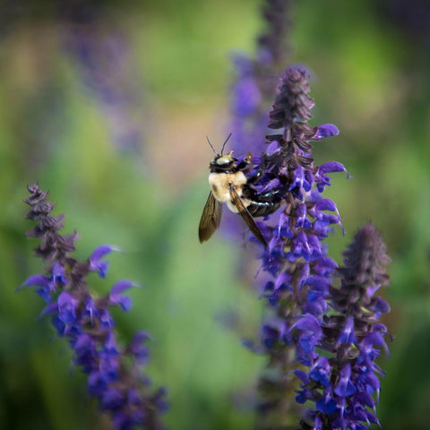 Bumble bee pollinating on lavender
