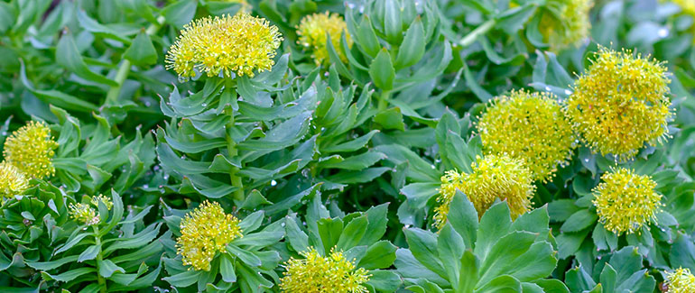 Rhodiola in nature