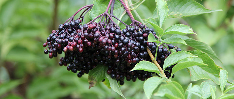 Black Elderberry in nature