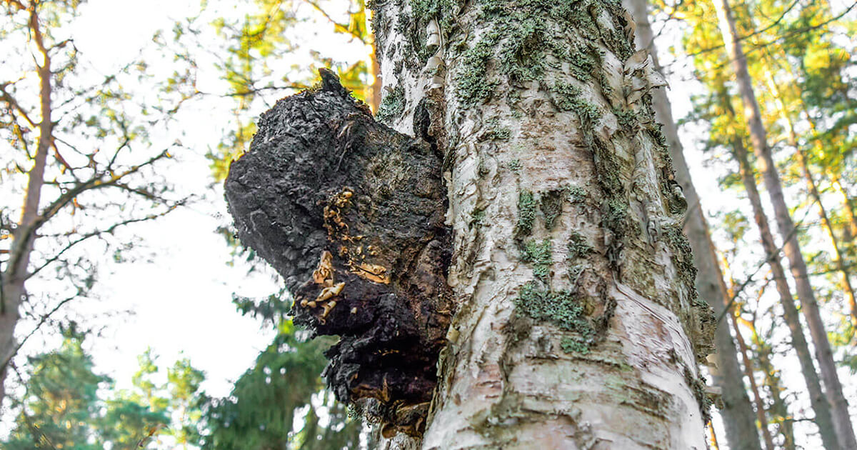 chaga on tree in nature