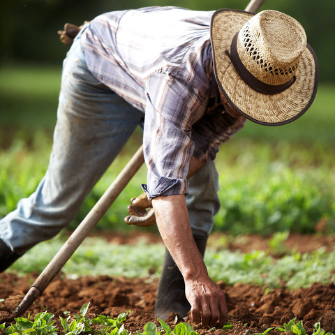 Gaia Herbs farm worker planting seeds in the field
