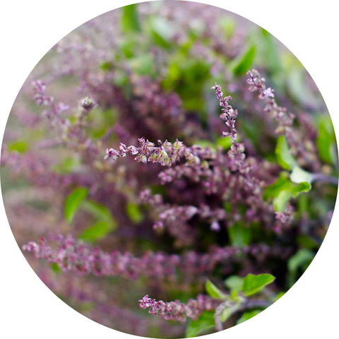 Holy Basil herb