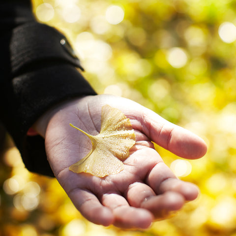 Ginkgo in hand at Gaia herbs farm