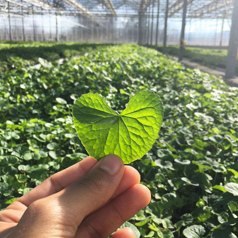 Gotu Kola being held in the Gaia Herbs greenhouse