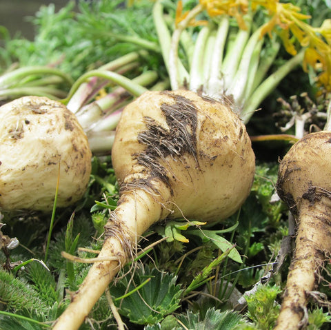 Maca root in nature