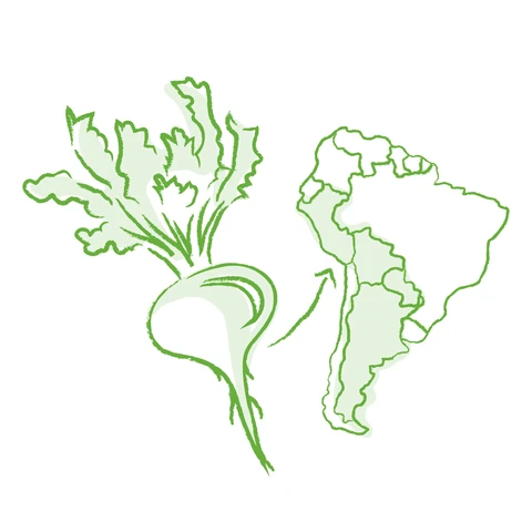 illustration showing where maca root comes from