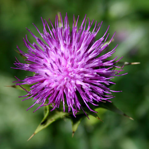 Milk thistle close up