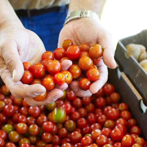 hands full of fresh grape tomatoes