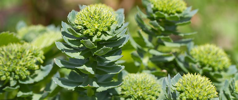 group of Rhodiola Rosea