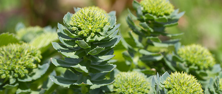 Rhodiola Rosea in nature