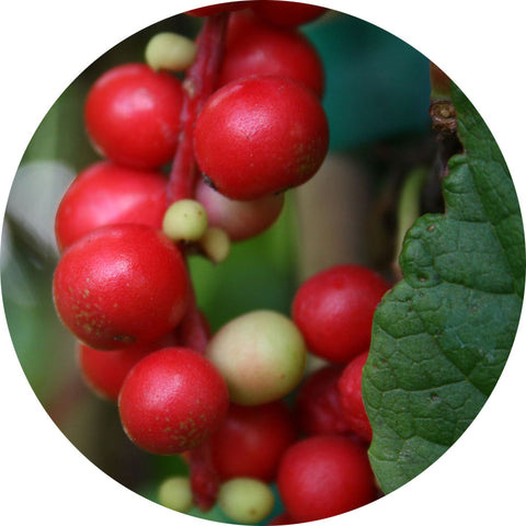 Schisandra berry in nature