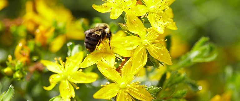 Bumble bee on St Johns Wort Flowers