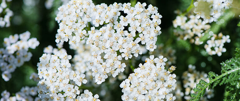 Yarrow in nature