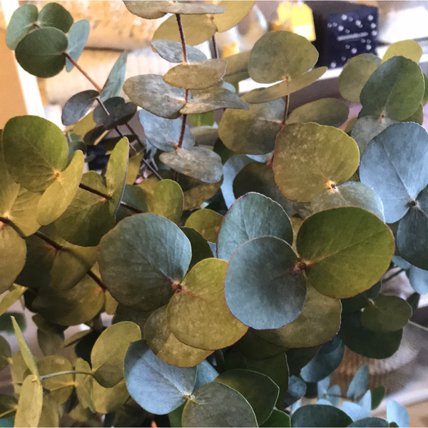 Bunch of Eucalyptus