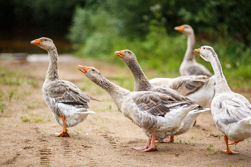 Geese...Our timeless source of joy