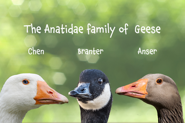 Image of 'The Anatidae Family of Geese'