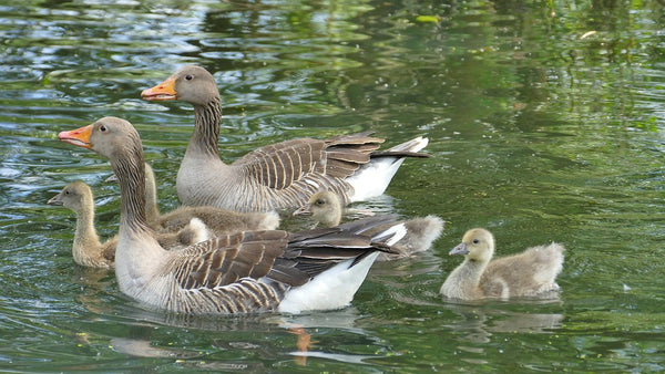 Image of a family of geese - 'The Goose symbolizes family and community spirit.'