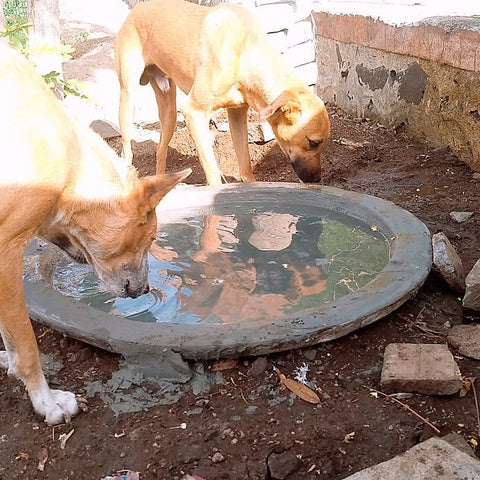 stray dogs drinking water