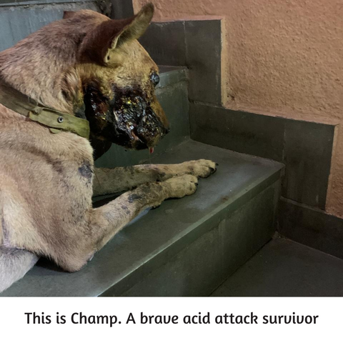 injured dog due to acid attack