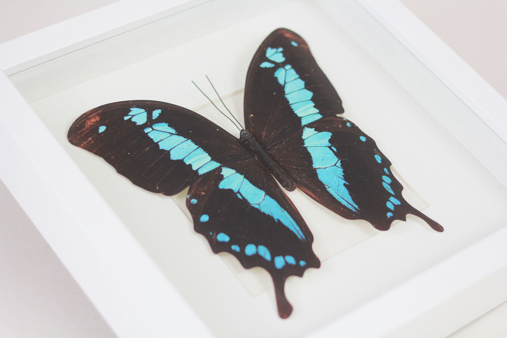 3D, Printed, Neotropical Butterfly - Morpho absoloni
