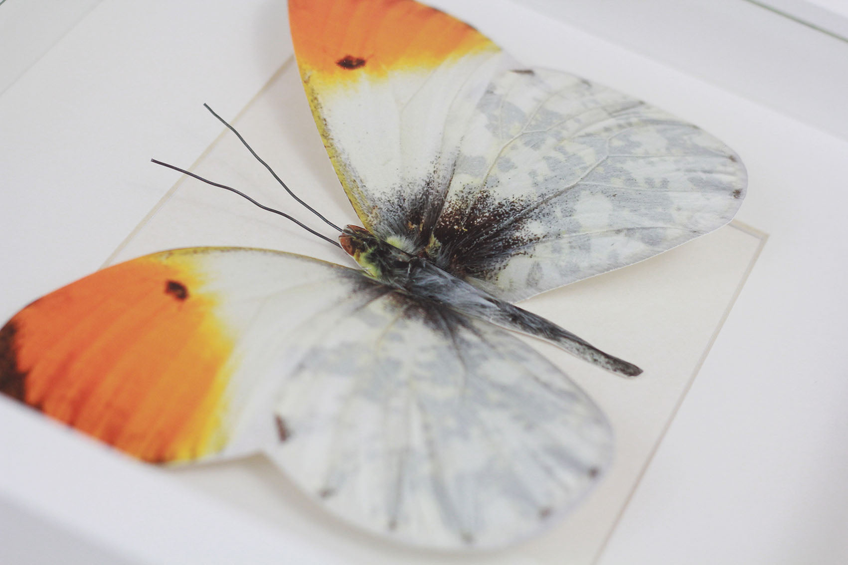 3D, Printed, Orange Tip Butterfly - Anthocharis cardamines