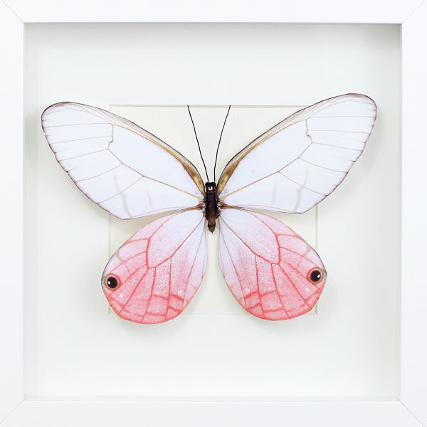 3D, Printed, Pink Glasswing Butterfly - Cithaeria aurora