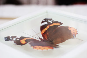 3d, Printed, Red Admiral Butterfly - Vanessa atalanta