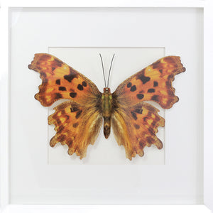 3D, Printed, Comma Butterfly - XL only