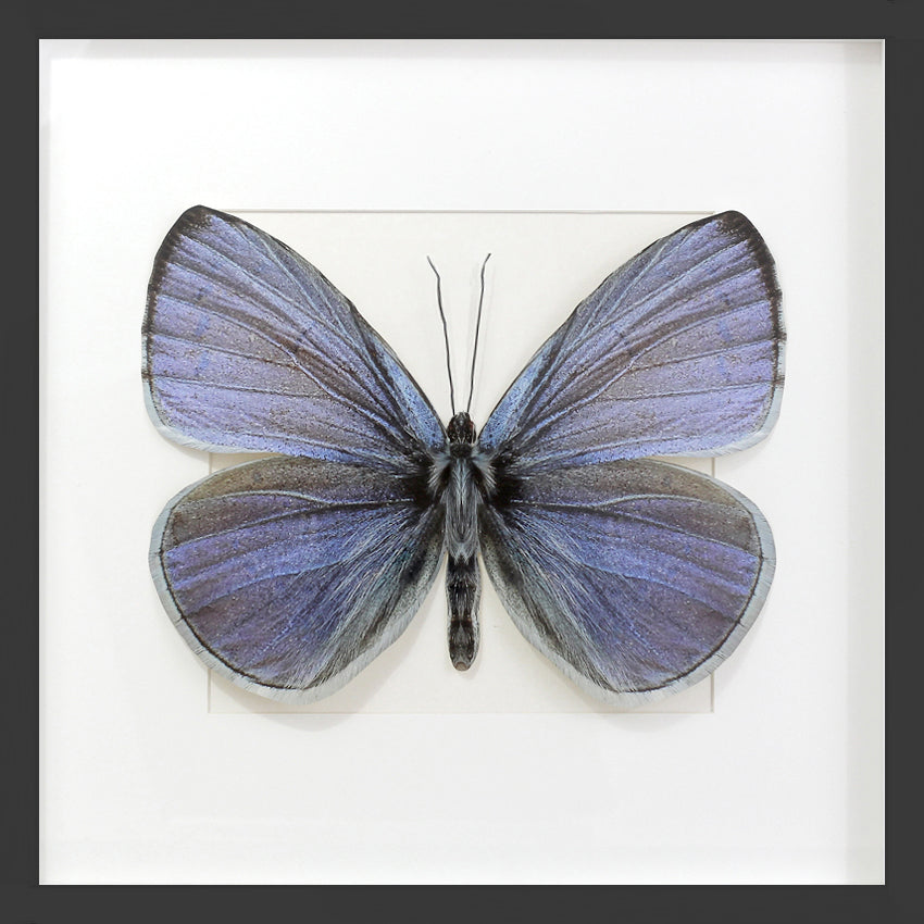 3D, Printed, Holly Blue Butterfly - Celastrina argiolus