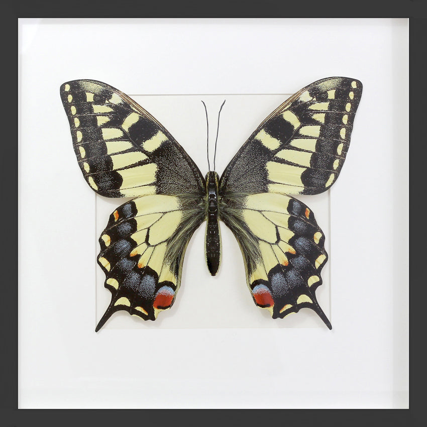 3D, Printed, Swallowtail Butterfly - XL only