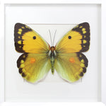 3D, Printed, Clouded Yellow Butterfly - XL only