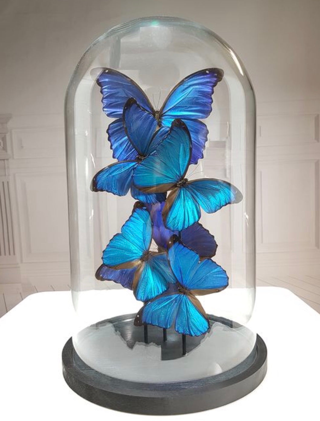 Blue empire butterflies under a glass dome