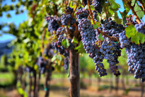 Are You Ready For Your Italian VENDEMMIA?