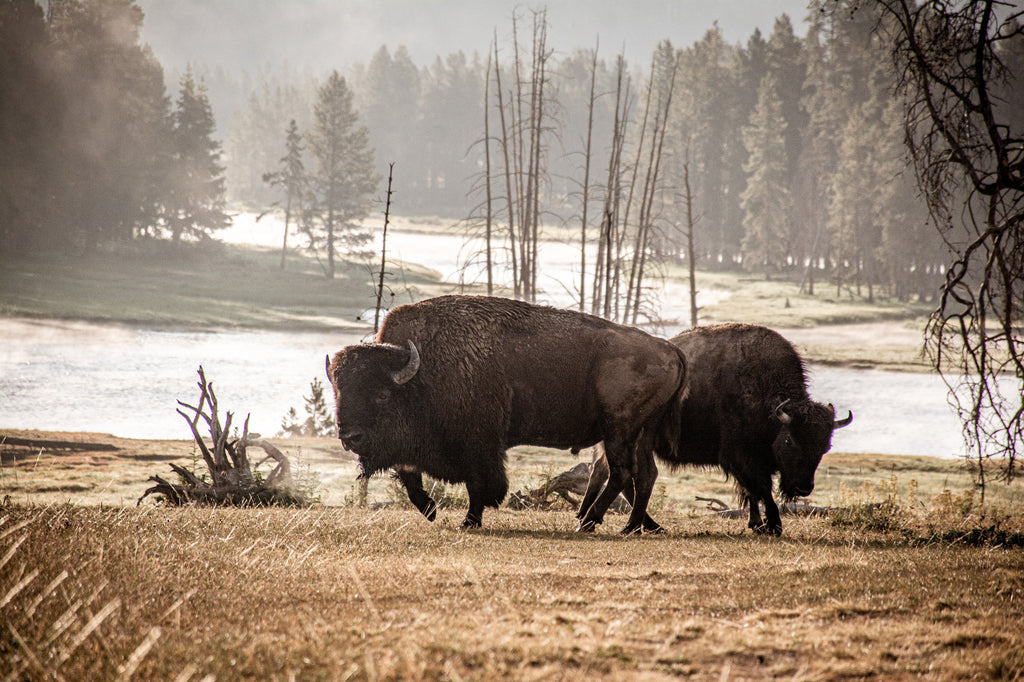 Free Range Bison for an Ethical Leather Source